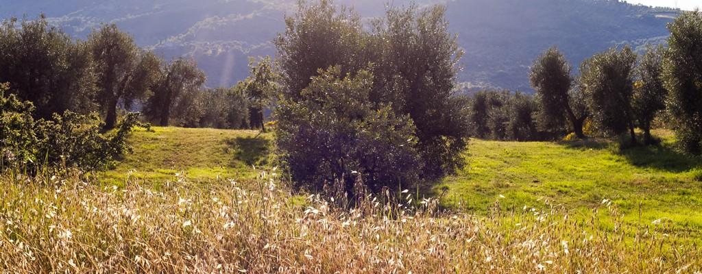 Olivastra Seggianese